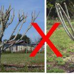 How to prune crape myrtle tree