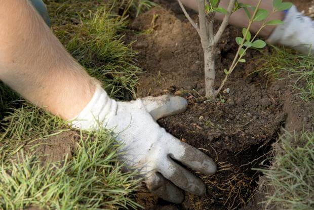 How to plant trees and shrubs in Florida
