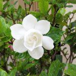 Gardenia Care For Florida Landscaping
