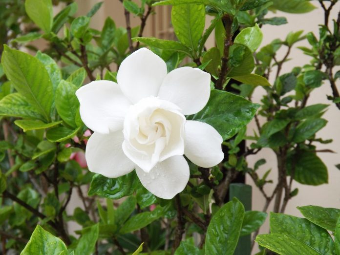 Gardenia Care For Florida Landscaping