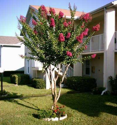 Florida Crape Myrtle Tree - Florida Landscaping Today