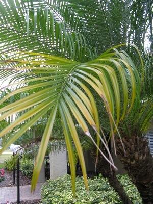 Florida Palm Tree Problems Damage