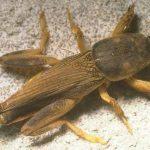 Florida Mole Cricket