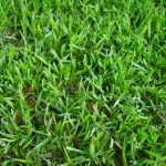 Florida St. Augustine Grass Maintenance in Florida