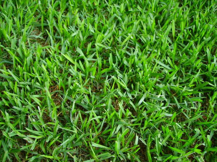 Florida St. Augustine Grass Maintenance in Florida