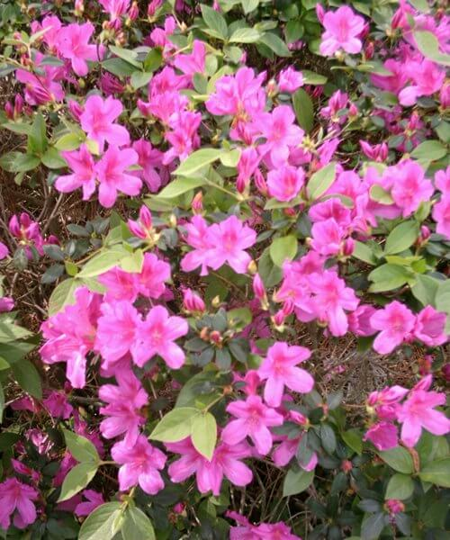 Azalea plant florida landscaping today azaleas are a popular part of landscapes for their beautiful flowers plant form and dark green foliage the azalea plant is used as foundation plantings mightylinksfo