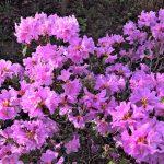 Azalea Plant Flowers in Florida