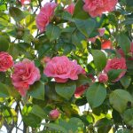 Florida camellias plant with pink flowers