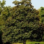 Southern-Magnolia-Tree-Florida-Landscaping-Today-300