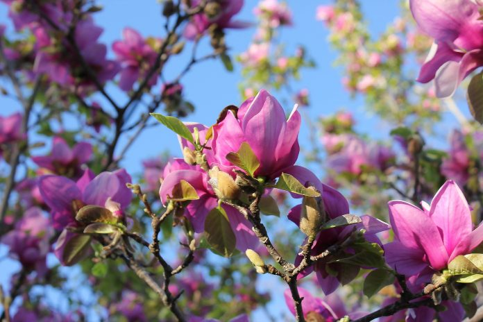 Florida Saucer Magnolia Tree Care