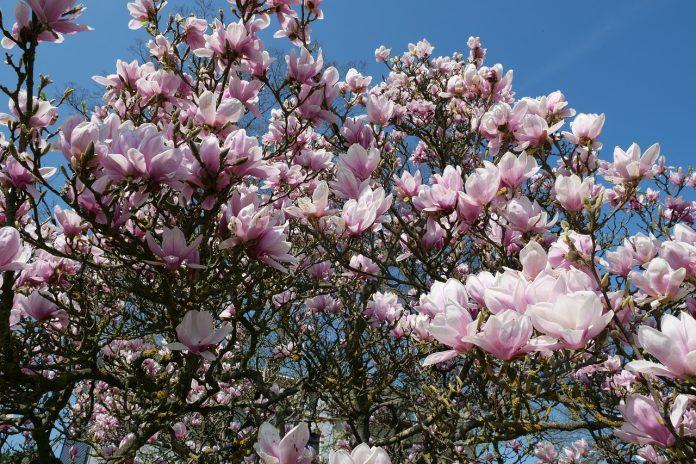 Southern Magnolia Tree in Florida