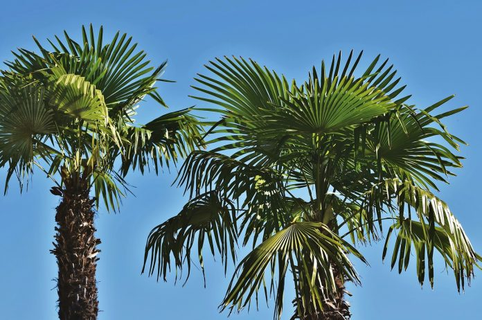 Planting Palms Tips in Florida