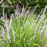 Liriope Cold Hardy Plants – Florida Landscaping Today