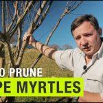 How To Prune Crape Myrtle Trees